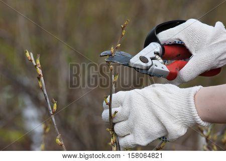 hands of gardener in gloves pruning branch of black current with secateurs in the garden