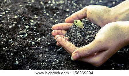 female hands holding the earth in his hands which planted a seed sprouting beans, green little sprout, crops, agricultural activities on land background with white fertilizer, photo preset, processed,
