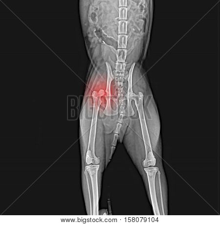 X-ray of dog pelvis. Dislocation head of femur thigh bone