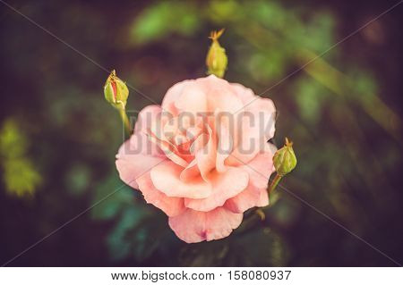 Delicate Pink Rose Blooming in Garden on the green background