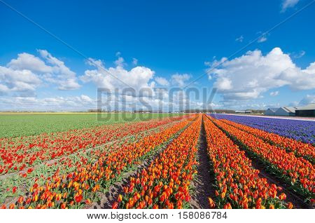 endless rows of blooming red tulips in an agricultural dutch landscape