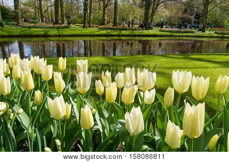 colorful blooming tulips in the famous keukenhof gardens in Lisse netherlands