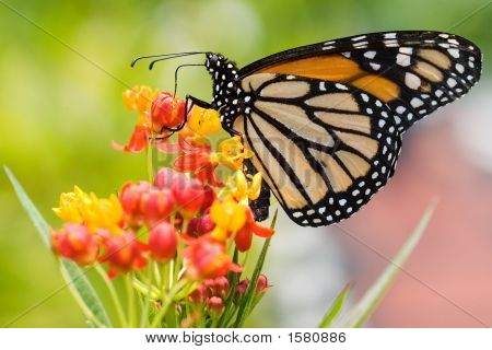 Monarch Butterfly Feeding