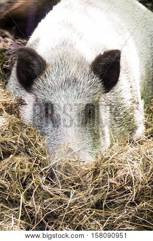 Boar sad buried his nose in hay in the daytime