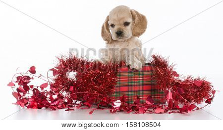 cocker spaniel puppy inside a christmas gift with red garland