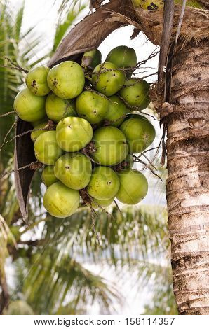 Coconut Cluster On Coconut Palm Tree