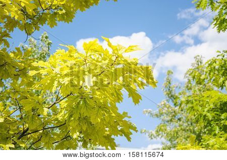 Branch of Aurea red Oak (Quercus rubra Aurea) on a background of blue  sky during summer Sunny weather. Decorative form with light green leaves with dark veins