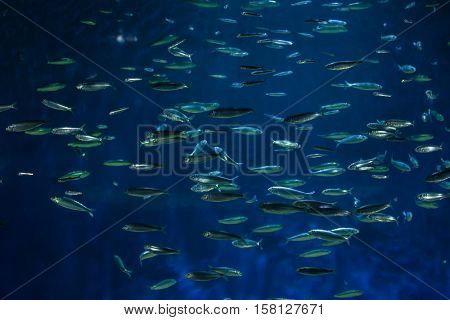 European pilchard (Sardina pilchardus). Marine fish.