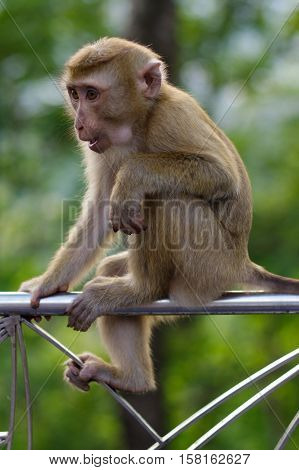 A lonely male long-tail mountain monkey sitting on metal fence. macaca monkey in Thailand
