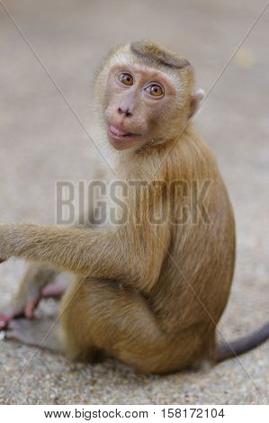 A lonely male long-tail mountain monkey sitting on gravel platform. macaca monkey in Thailand