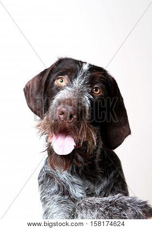 portrait of a dog hunter closeup drathaar