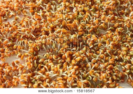 A lot of germinating  seeds close up.