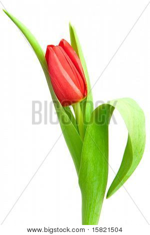 one red tulip isolated on white