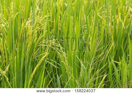 close up of full grown rice plant with seeds almost ready to harvest