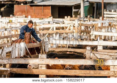 Cowboy encloses some calves in a pen of Mercado de Liniers Buenos Aires Argentina. August 16 2016