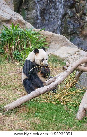 Black And White Panda Eating Bamboo At Hk Ocean Park