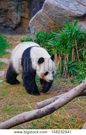Black And White Panda In Ocean Park Hk
