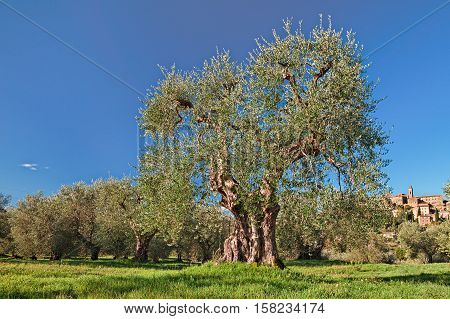 Seggiano, Grosseto, Tuscany, Italy: landscape with an old olive tree in the Tuscan country and the medieval hill town