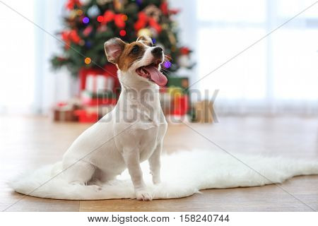 Cute Jack Russel puppy in decorated Christmas room, closeup