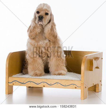 cocker spaniel on a wooden dog bed