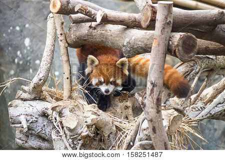 Red panda also called as Ailurus fulgens in the zoo of the Ocean Park in Hong Kong.