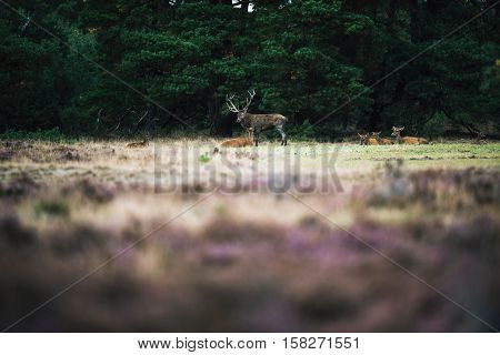 Red Deer Stag Standing Next To Doe In Rutting Season. National Park Hoge Veluwe.