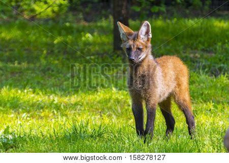 Maned wolf Chrysocyon brachyurus puppy in green