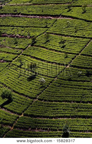 green tee terrasses in the highland from Sri Lanka in folk with Tee plantation