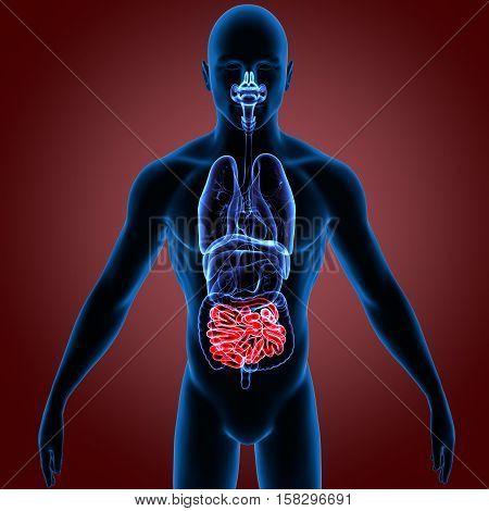 3D illustration human body small intestine system