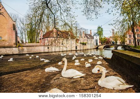 Swans in Bruges, a famous European destination
