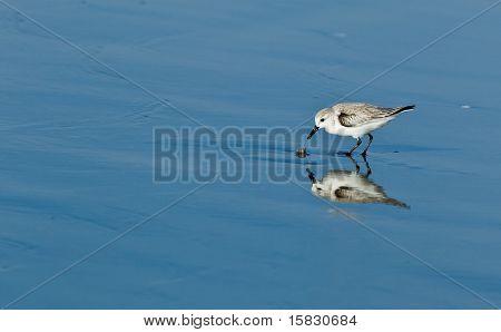 Snowy Plover (Charadrius alexandrinus nivosus)