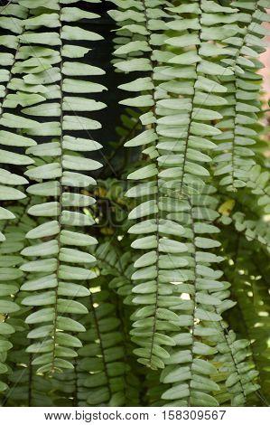 fresh green nephrolepis cordifolia fern in nature garden