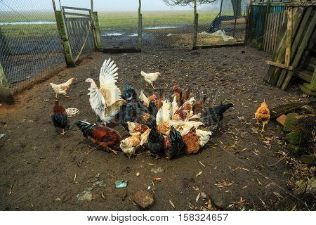 Roosters and hens on a rustic farmstead