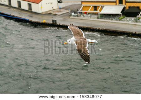 Herring gull in flight in Norwegian fjord