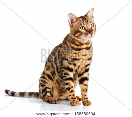 portrait of a purebred bengal cat on a white background. cat sits