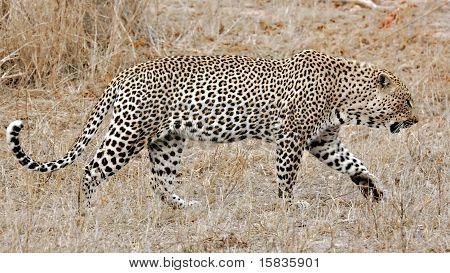 Leopard, Sabi Sands, Kruger National Park