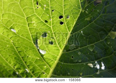 Leaf With Holes
