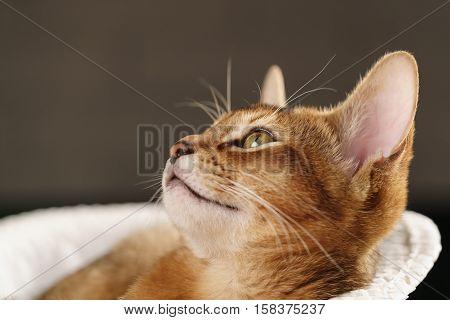 Purebred sleepy abyssinian kitten resting in hat looking upwards, shallow focus