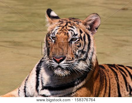 Brave moustached and striped hero. Beautiful face of Indo-Chinese tiger, Tiger Temple, Thailand