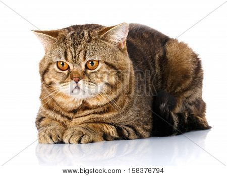 Purebred Scottish Straight Male Cat Lying on Isolated white Background, top view