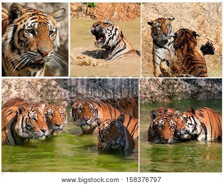 Big Indo-Chinese tigers in the lake on a hot day... , Tiger Temple, Thailand, montage