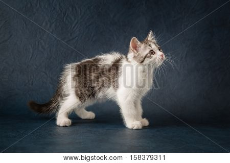 Young scottish straight cat on dark blue background