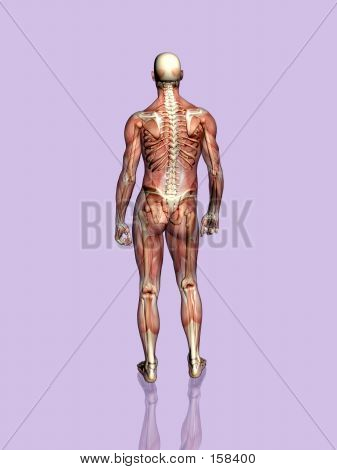 Anatomy A Muscular Man, Transparant With Skeleton.