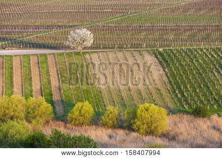 view of spring vineyards near Velke Bilovice, Czech Republic