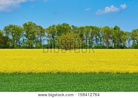 Field Of Colza And Wheat