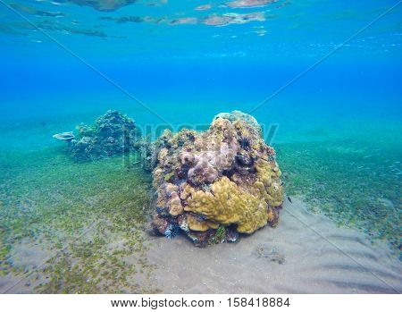 Underwater landscape with new coral reef and seabottom. Sand sea bottom with green seaweed. Blue water of seaside aquatory. Colorful corals and fishes in eco symbiosis. Tropical nature undersea