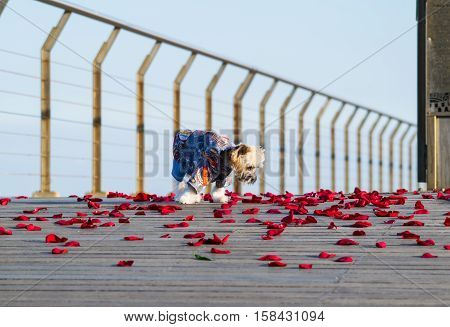 Little cute dressed dog walking on the rose petals, Yorkshire terrier puppy