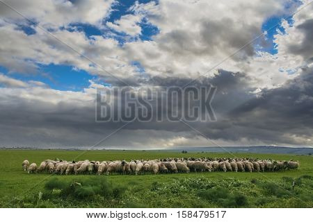 Hilly rural landscape:Alta Murgia National Park.Flock of sheep and goats grazing in a gloomy winter day.Italy,Apulia.Typical winterly scenery Apulian plateau with grasslands and agricultural land for pasture.