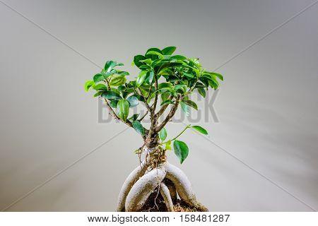 an asian bonsai in a macro view