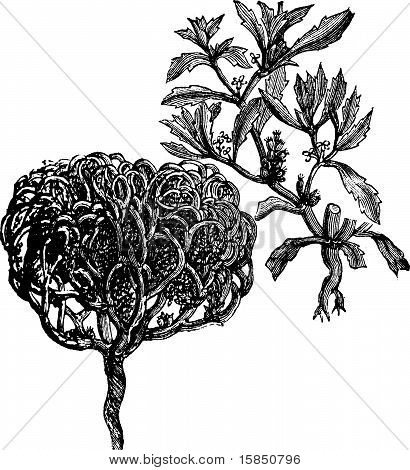 Anastatica Hierochuntica, Tumbleweed Or Resurrection Plant Old Vintage Engraving.
